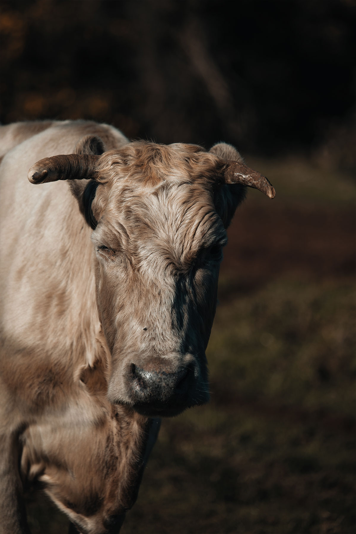 Madeira-cow-mountains-Funchal-Travel-Photography-Portugal