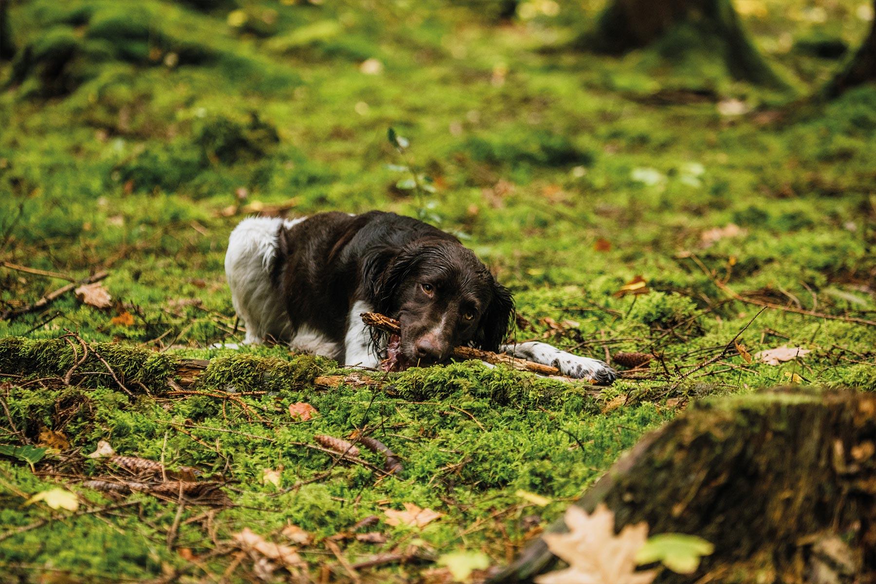 filmproduktion-kleiner-muensterlaender-hund-tierfilm-wald-outdoor-hundefilm-jagdhund-basti-kaspar