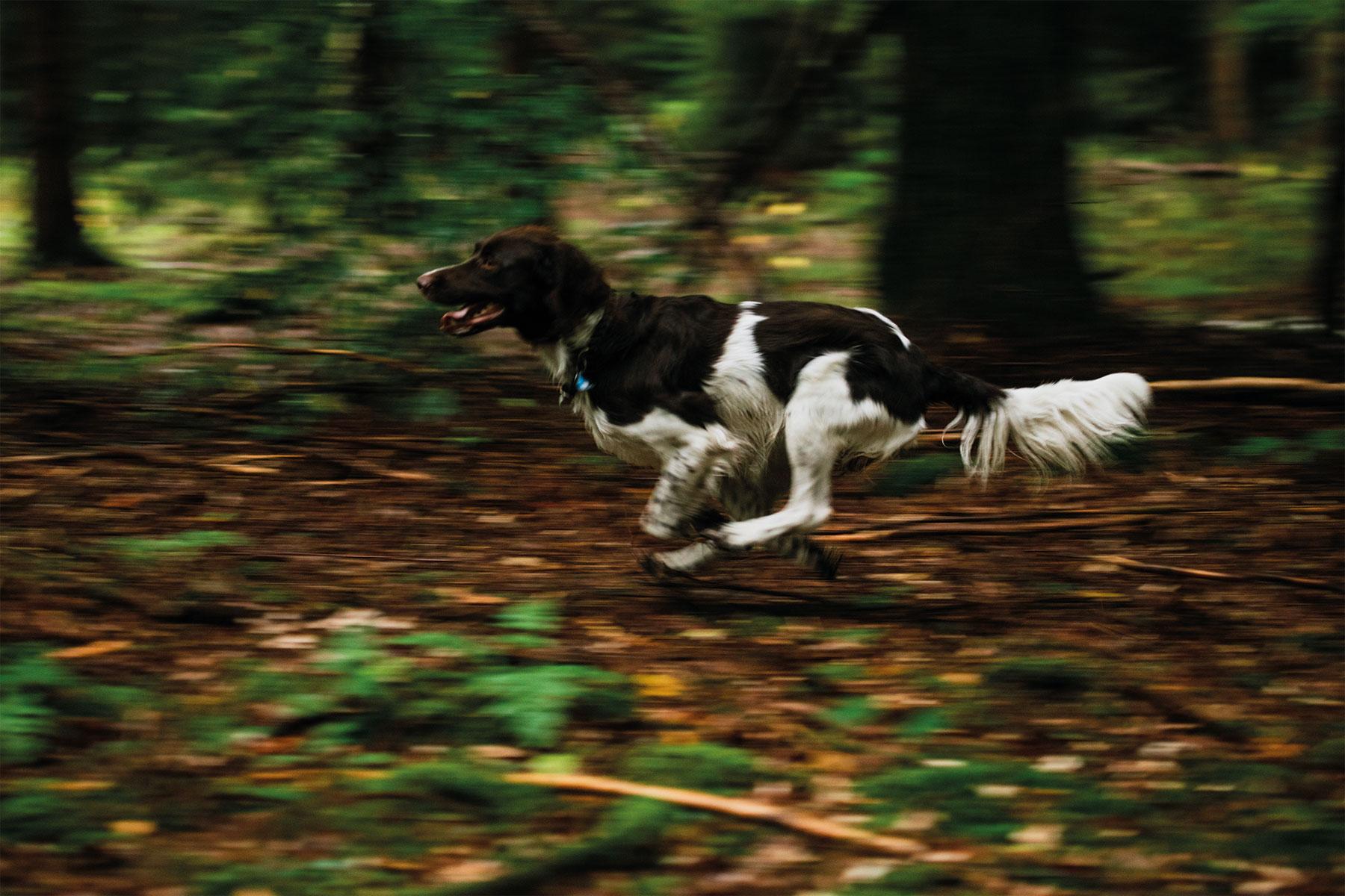 kleiner-muensterlaender-hund-tierfilm-wald-rennen-outdoor-hundefilm-jagdhund-basti-kaspar