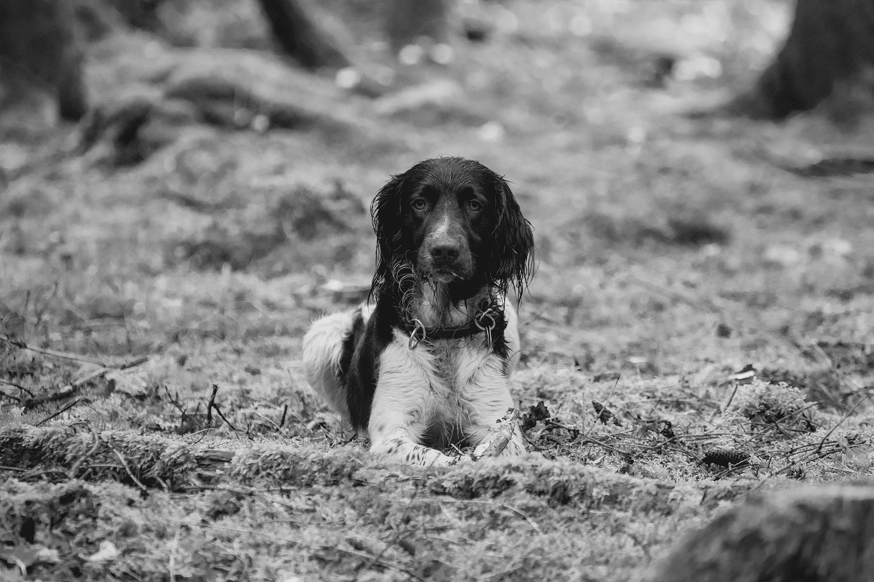schwarzweiss-kleiner-muensterlaender-hund-buddeln-tierfilm-wald-rennen-outdoor-hundefilm-jagdhund-basti-kaspar